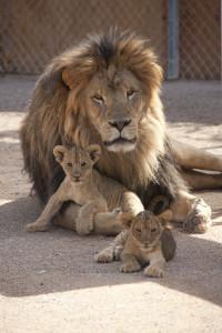 Tour privado de leones en Las Vegas