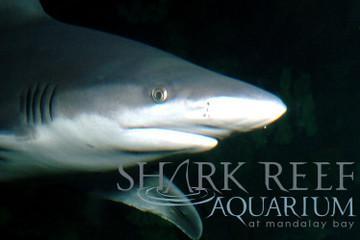 Acuario Shark Reef en el Mandalay